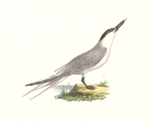 The Sandwich Tern
