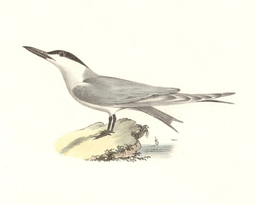 The Marsh Tern