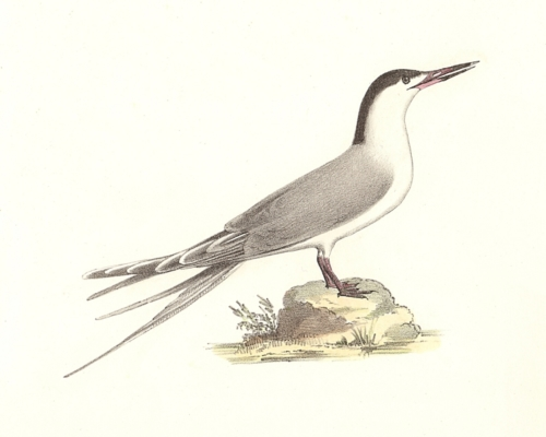 The Roseate Tern