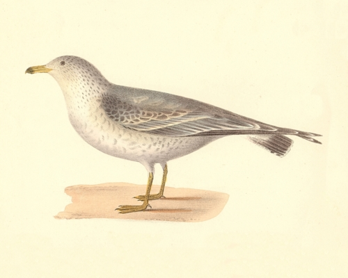 The Common American Gull, young