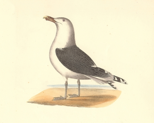 The Great Black-backed Gull