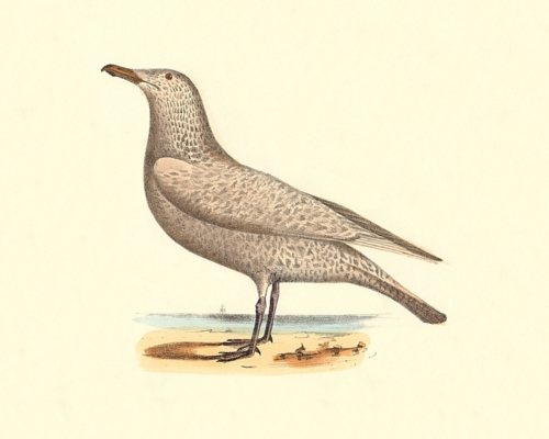The Winter Gull, variation