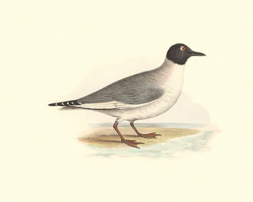 Bonaparte's Gull, summer