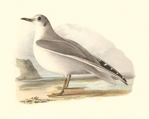Bonaparte's Gull, winter