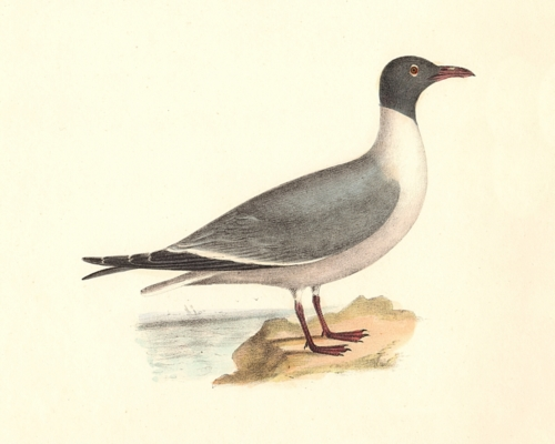 The Laughing Gull - alternate plumage
