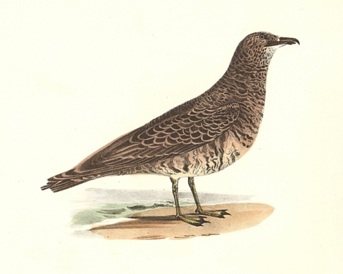 The Pomarine Hawk Gull