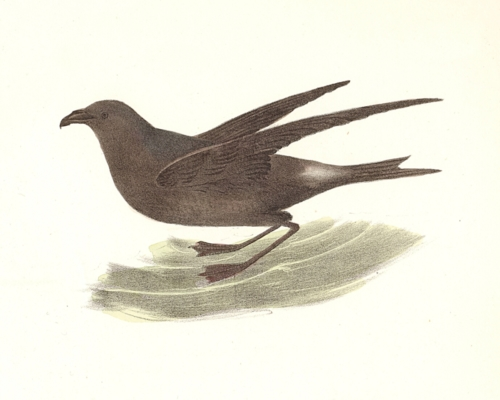 The Fork-tailed Petrel