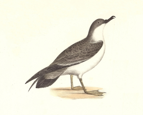 The Large Shearwater, young