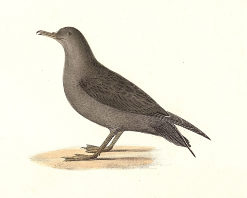 The Large Shearwater, adult