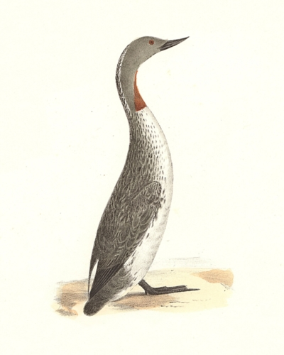 The Red-throated Loon