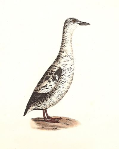 The Black Guillemot