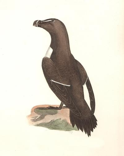 The Razorbill