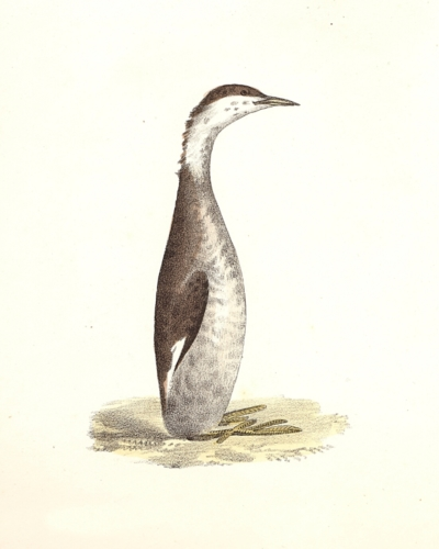 The Horned Grebe