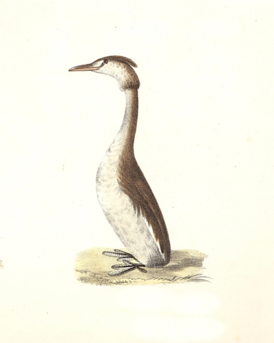 The Crested Grebe