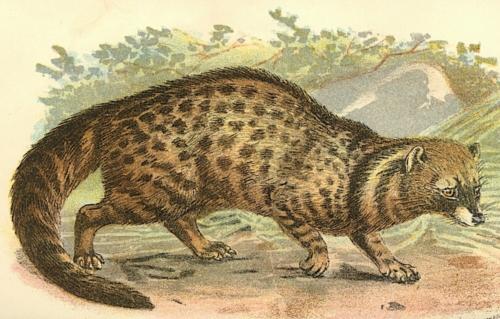 African Civet 1