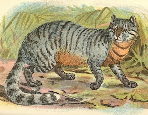 Caffre Cat 1