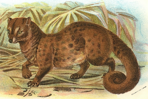 Common Palm-Civet 1