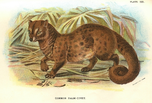 Common Palm-Civet