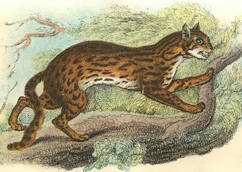 Leopard-Cat 1