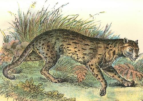 Leopard-Cat (Javan Variety) 1
