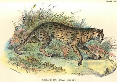 Leopard-Cat (Javan Variety)
