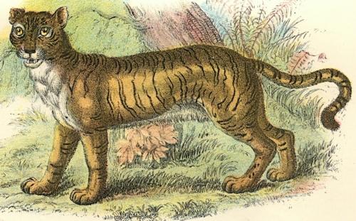 Lion-Tiger 2
