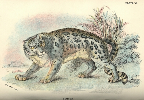 Ounce (Snow Leopard)