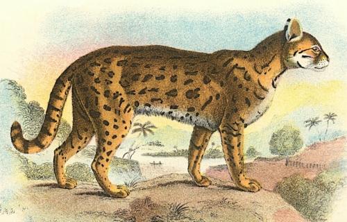 Tiger-Cat 1