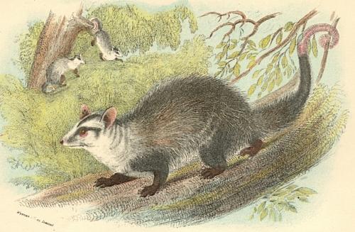 Azara's Opossum 1