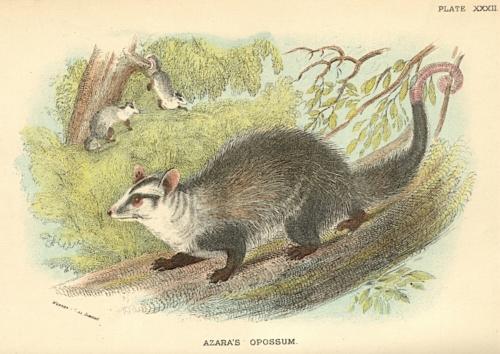 Azara's Opossum