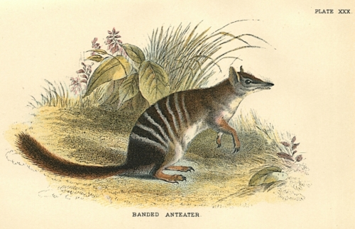 Banded Anteater