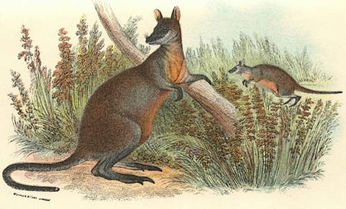 Black-Tailed Wallaby 1