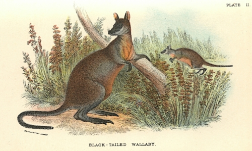 Black-Tailed Wallaby