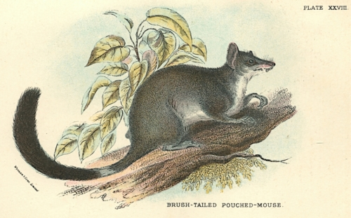 Brush-Tailed Pouched-Mouse