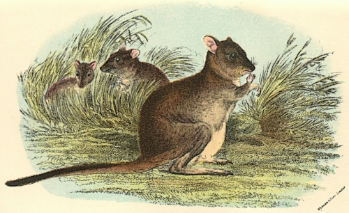 Brush-Tailed Rat-Kangaroo 1