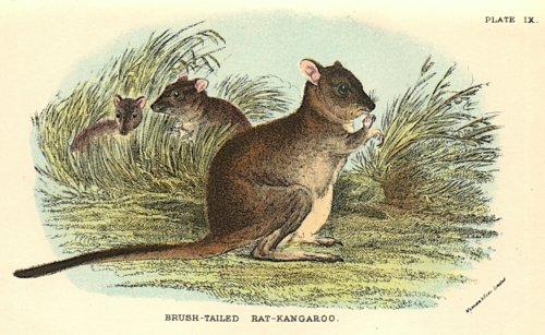 Brush-Tailed Rat-Kangaroo