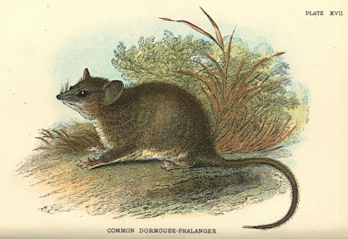 Common Dormouse-Phalanger