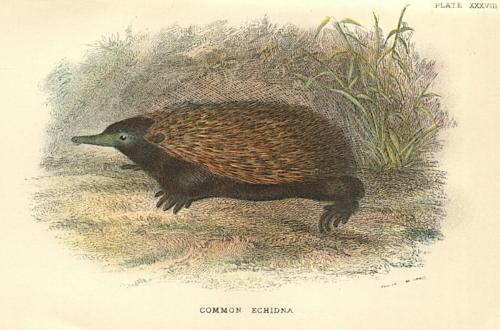 Common Echidna