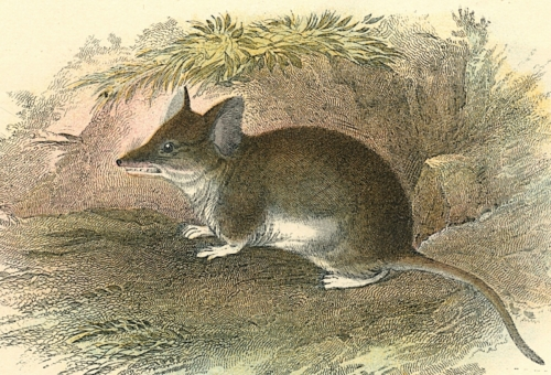 Common Pouched Mouse 1