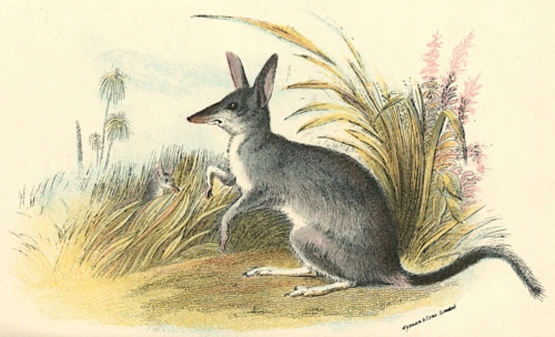Common Rabbit-Bandicoot 1
