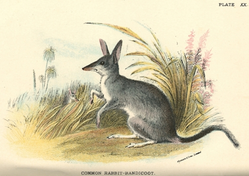 Common Rabbit-Bandicoot