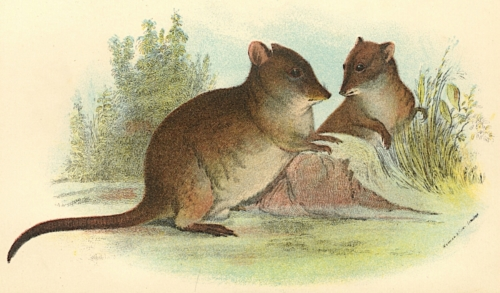 Common Rat-Kangaroo 1