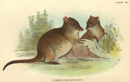 Common Rat-Kangaroo