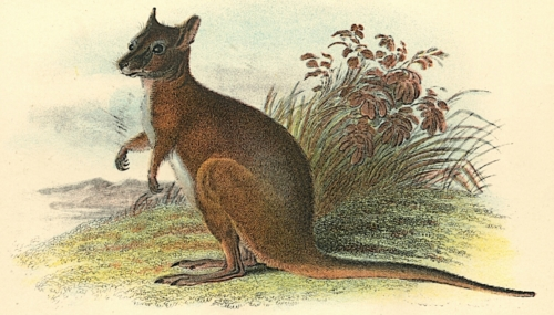 Dama Wallaby 1