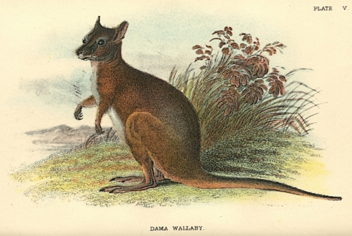 Dama Wallaby