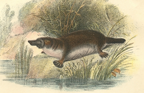 Duck-Bill (Duck-billed Platypus) 1