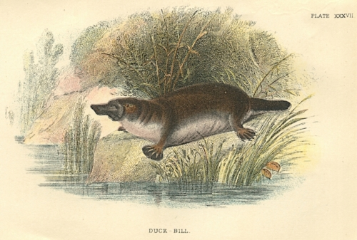 Duck-Bill (Duck-billed Platypus)