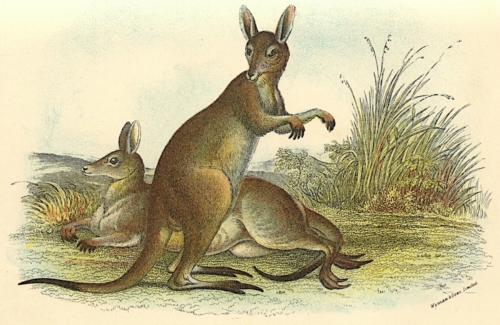 Great Grey Kangaroo 1