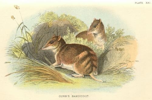 Gunn's Bandicoot