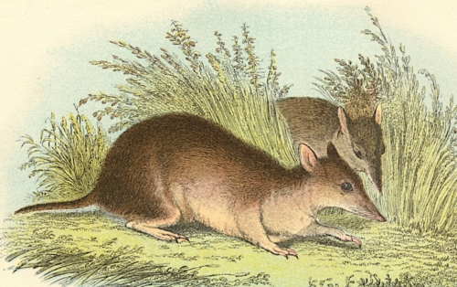 Long-Nosed Bandicoot 1